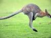кенгуру в стрибку