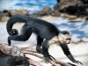 ціпхосвоста мавпа