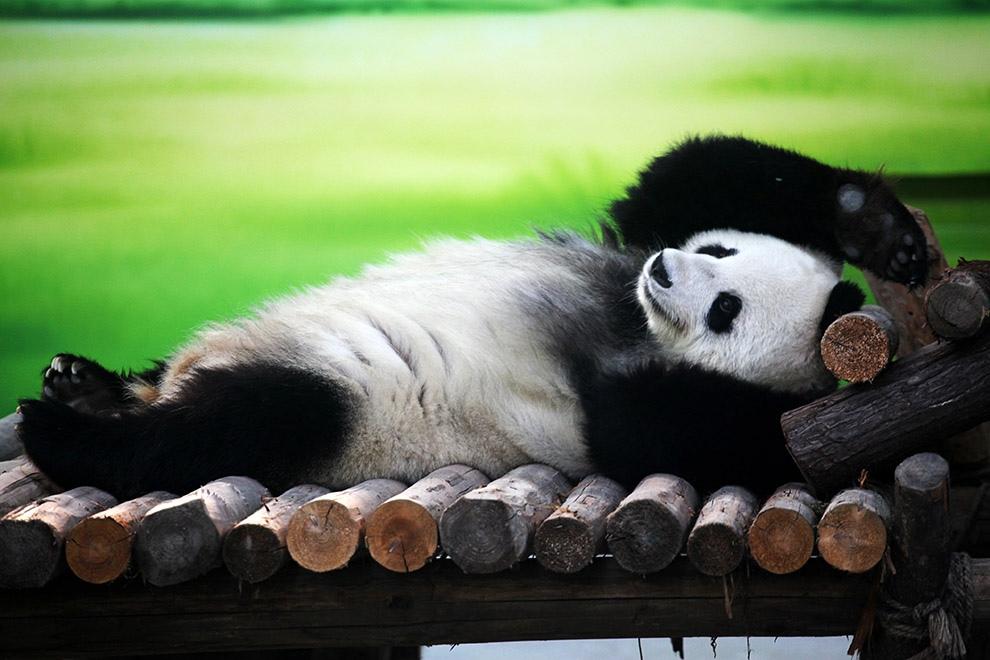 панда на відпочинку