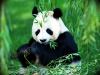 панда на природі