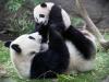 панда с дитиною