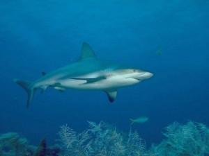 Акули в дикому середовищі