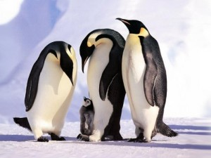 penguins-family-1