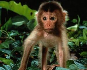 мавпа гном