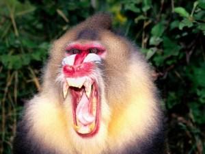 мавпи крикуни