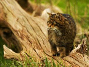 Лісовий кіт