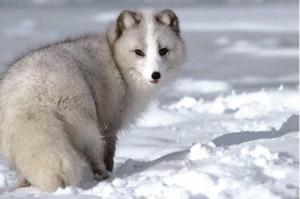 wolf-12