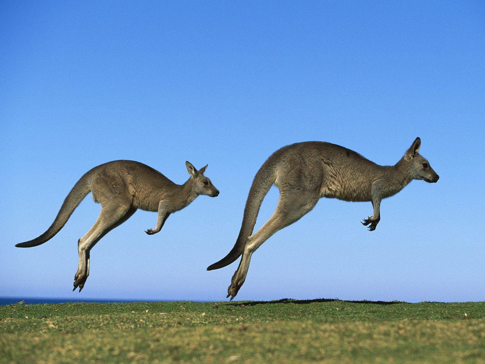 Дивовижні кенгуру