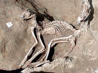 скелет лисиці