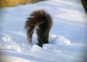 хвіст-в-снігу
