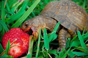 черепашка-їсть