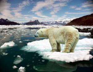 Білі ведмеді плавають
