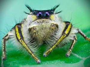 павук вегетаріанець