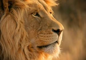 Лев - король звірів