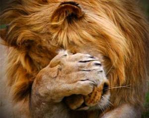 Сором'язливий лев
